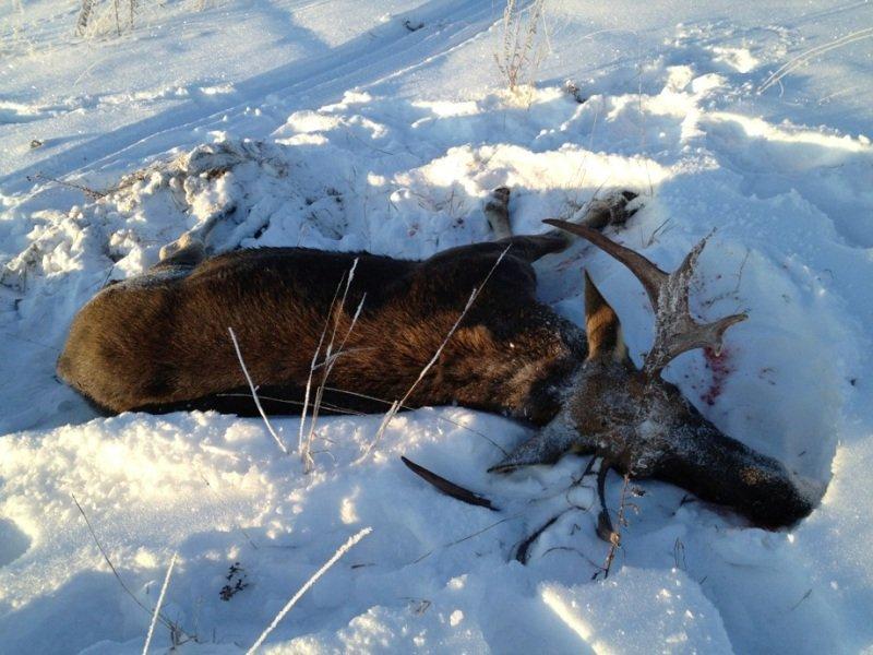 Охотнику из Клетни грозит срок за двух заваленных лосей