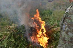 Пограничники нашли в Брянской области 1300 кустов дикой конопли. И сожгли их