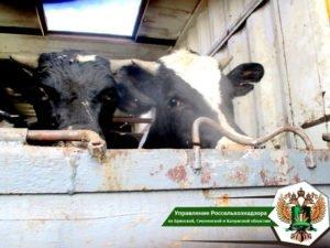 В Брянской области «отловили» около тысячи сельхозживотных без ветдокументов