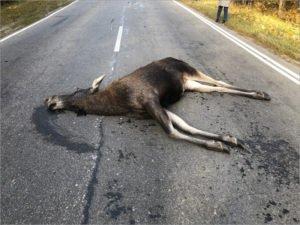 ДТП под Суземкой: лоси гибнут на брянских дорогах
